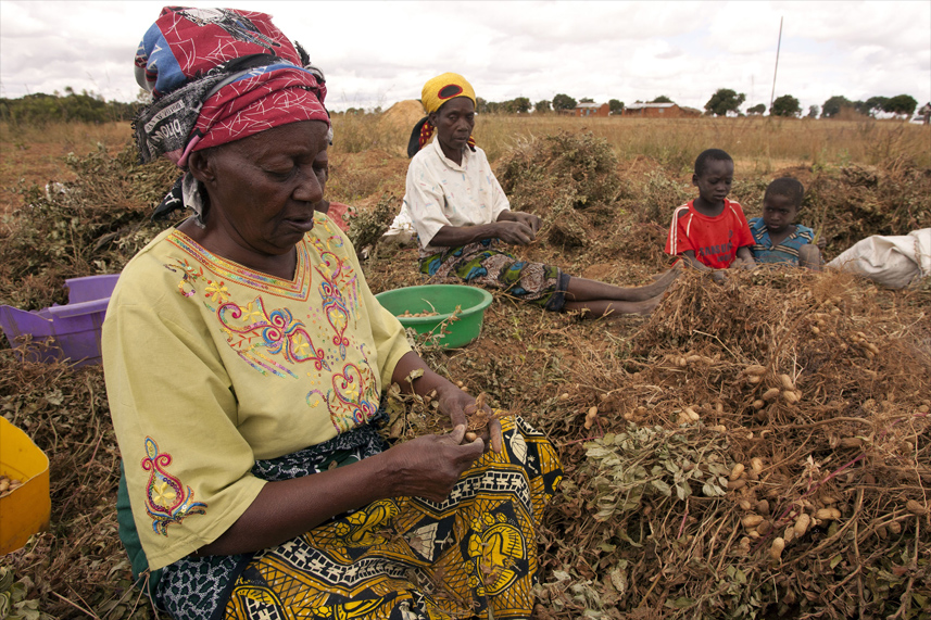 Woman harvesting groundnut - Malawi