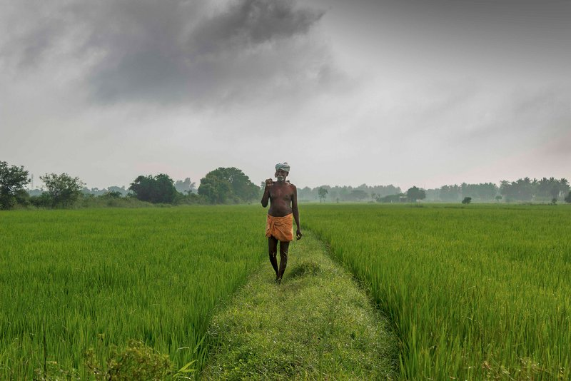 Farmer-walking-across-a-rice-field